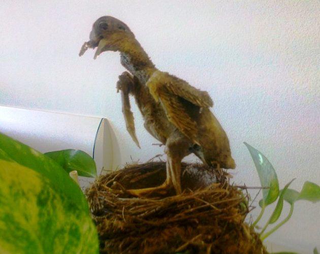 Wilson, uccello mummificato
